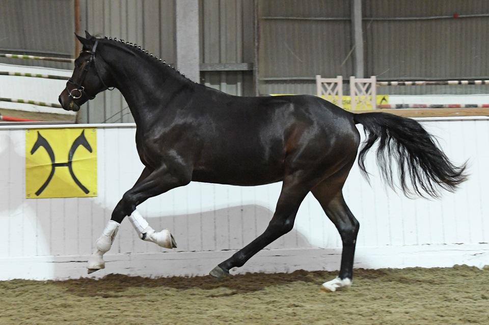 Furst Summer at stallion show