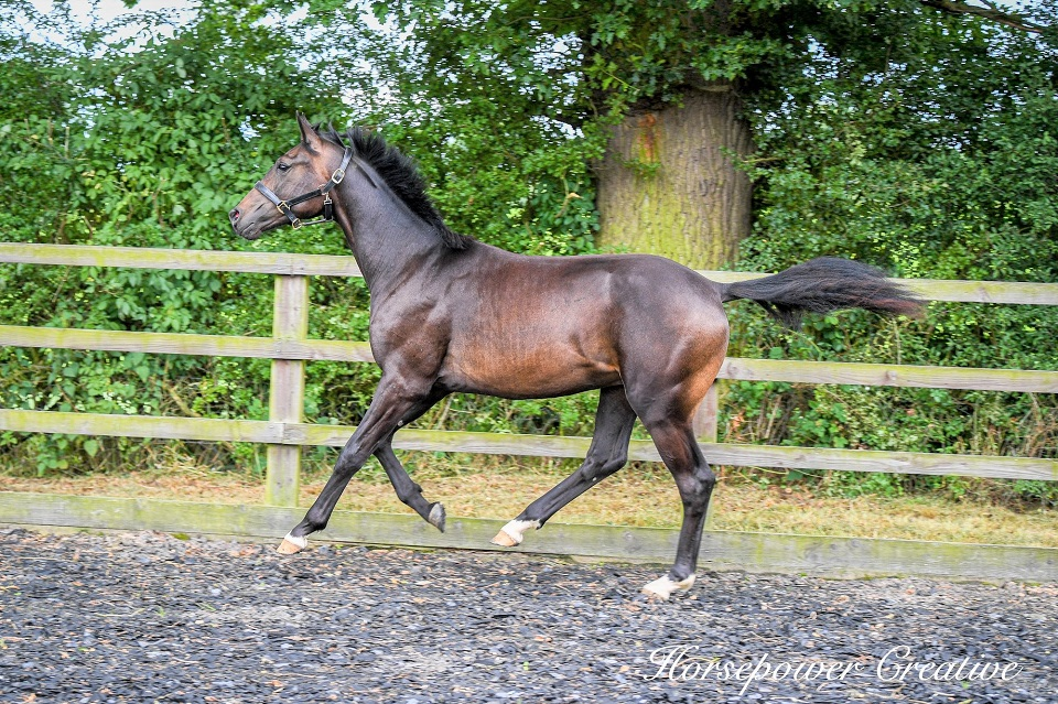 Fitzwilliam Darcy cantering July 2020 side